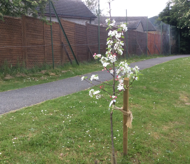 Our new crab apple is in full bloom!
